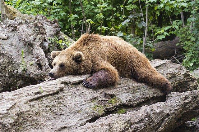 Ours qui fait la sieste